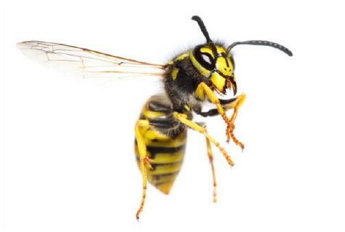 wasps 5 summer pests - wasps