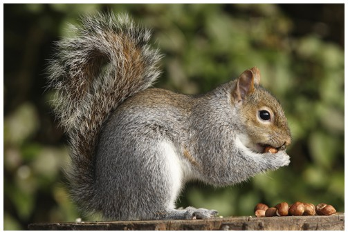 How Squirrels are a Bigger Threat than you think