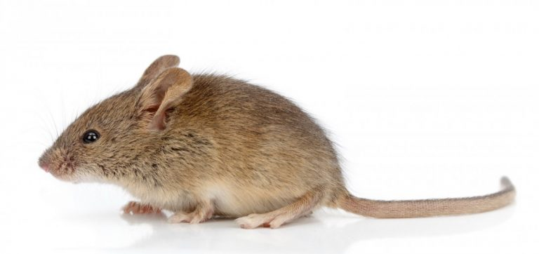Mouse Exterminator near me Apex Pest Control Experts