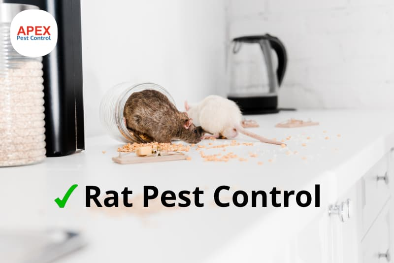 rat pest control - rats in kitchen