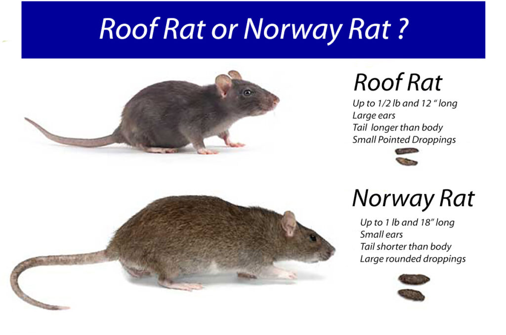 types pf common UK rat