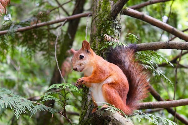 pest control squirrels red