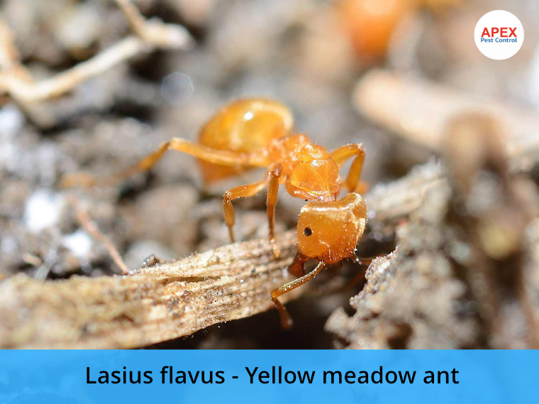 yellow ant