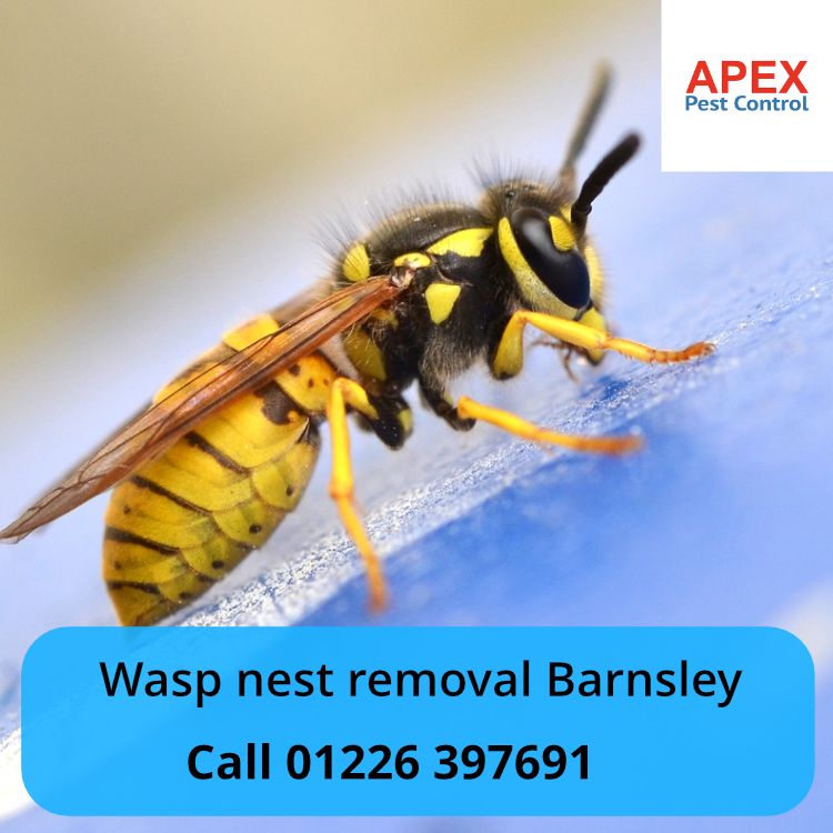 wasp nest removal barnsley - apex pest control.