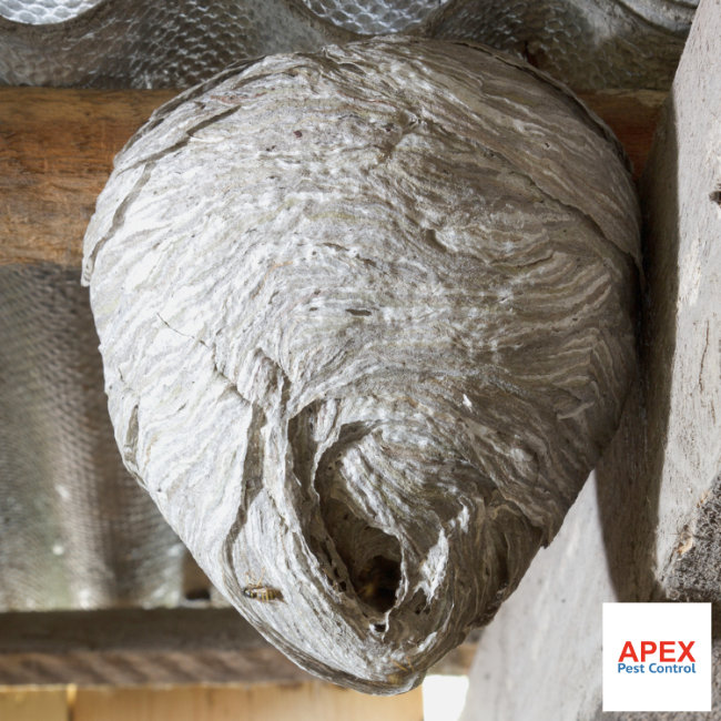 Wasp Nest Removal in loft
