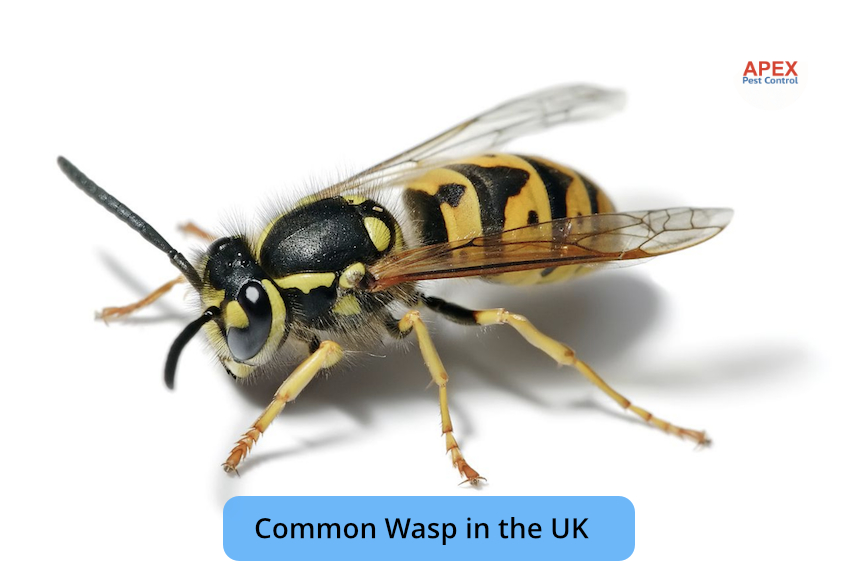 common wasp in the UK