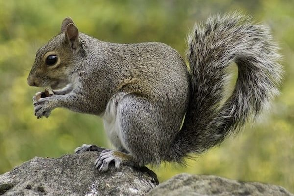 If squirrels are in your building they can cause serious damage and even fire. Protect your property from these fluffy pests with squirrel control and proofing.