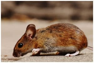 rats mice and insects