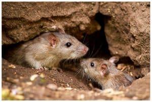 rats destroy homes