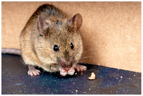 rodents in workplace