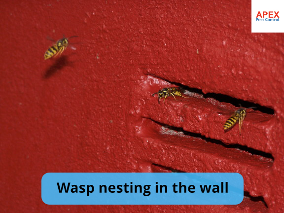 wasp nest in wall barnsley, south yorkshire
