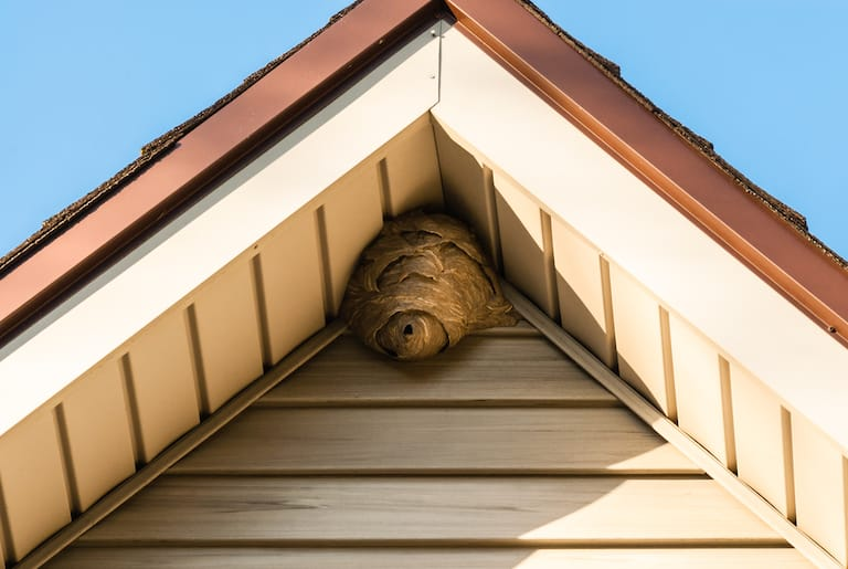 wasp nest removal nearby is showing wasp nest in apex of roof