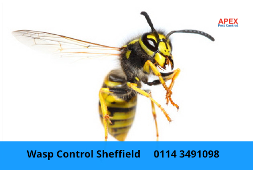 Wasp removal service common german wasp
